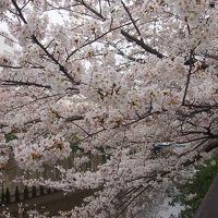 車中泊で1泊2日桜巡り、1日目は東京【六義園】【目黒川】横浜【大岡川】