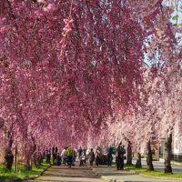 1人で日帰りドライブ、日中線しだれ桜並木と福島県会津地方寺社巡り