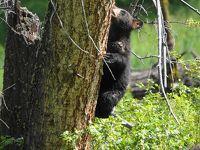 7)野生動物との遭遇が魅力 かわいい子熊とも出会えたイエローストン アッパーループを英語ツアーで巡る