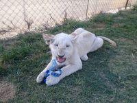 南アフリカ出張のついでにヨハネスブルクのライオンパーク