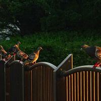 早朝散歩 宝塚市安倉上の池の日の出 下巻。