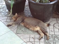 �子連れ二人旅!猫ちゃん探しにランカウイ島での夏休み(エアアジア利用)