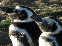 チリ� ペンギンだらけ!プンタアレーナスでペンギンコロニーを見に行こう!