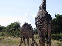 午後はキリンの群れを見た!@チョベ国立公園1DAYツアー(PM:ジープサファリ編)