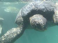 海亀とマングローブ、ペルー最北の地