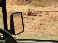 次もいきなりタンザニアサファリhttp://www.karibuadventure.com