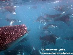 ぐるぐるマンタとジンベエザメとシュノーケル@ハニファルベイ(バア環礁、モルディブ)