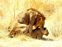 タンザニアでサファリ三昧 5ルアハ国立公園で濃密サファリ その3 ライオンの交尾に出会う!!