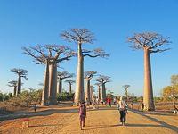 マダガスカル アンタナナリボ−モロンダバ バオバブ並木