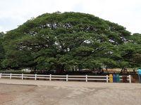 カンチャナブリ� ☆♪♪この木なんの木 気になる木ですから♪