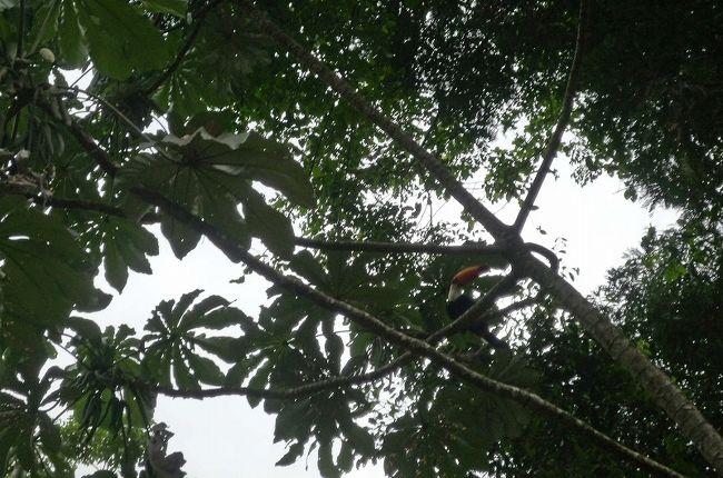オニオオハシの画像 p1_11