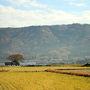 亀岡付近の風景です。 長閑ですねぇ…。 田んぼの黄色が美しいです。