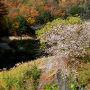 香嵐渓のある足助と小原、今では同じ豊田市になってしまったので境界が走っているだけではどこか分からないですが、時折周りに花をつけている桜が見えてくるようになったので小原に入ったようです。背景に紅葉が入る場所に桜の木を見つけたので一枚。