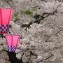 近所に桜を見に行ったり…。  ●通称桜通り@大阪市 関西散歩記?2014 大阪・大阪市港区編? http://4travel.jp/travelogue/10882231