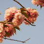 ●八重桜@狭山池界隈  八重桜が、道沿いに咲いていました。 ボリュームがあって、とても綺麗です。