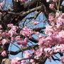 入り口付近のピンクの桜