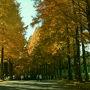 帝人アカデミ−富士研修センタ−のメタセコイア並木道。  センタ−から入口方面へ約400mの並木道がある。 黄色に色づいた壮大なメタセコイア。