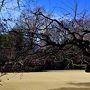 新宿門から入場です。 入ってすぐの原っぱの梅です。