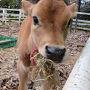 かわいい子牛ちゃん、食べまくります。