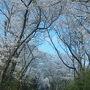 朝8時にレンタカーの手続きをし、ナビを頼りに10号線を北へ進む。 鹿児島空港を通り過ぎ丸岡公園へ向かった。 桜のトンネルがすごかった。