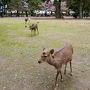 朝食後ホテルをチェックアウト、荷物を預かってもらい出かけます。 奈良駅西口ロータリーからのバスを「県庁前」で降り、興福寺国宝館に向かいます。 途中、興福寺の敷地内なのかもですが、手前の公園に鹿さんがいました。