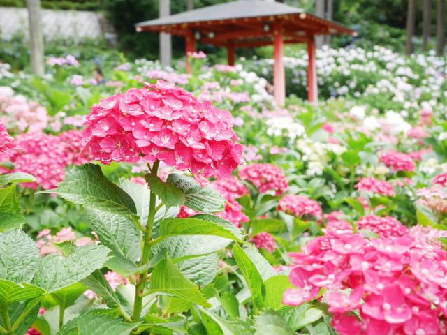 美しい梅雨を楽しむ。京都あじさいの名所12選。定番から穴場まで