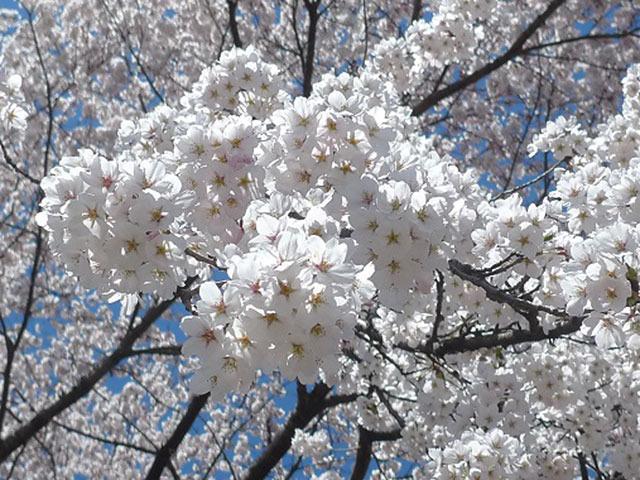 春を先取り!今から楽しめる、日本全国桜スポット2014