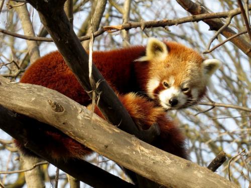 作成中 欧州Roter Panda紀行 Tiergarten Schönbrunn