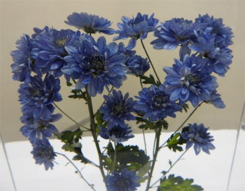 私は見た 青い菊を。早春の筑波実験植物園訪問