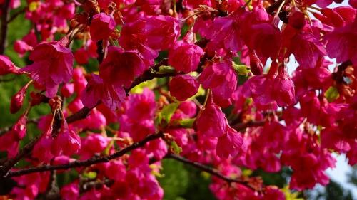 宝塚市山本中の寒桜が満開になったか確認に行きました その1。