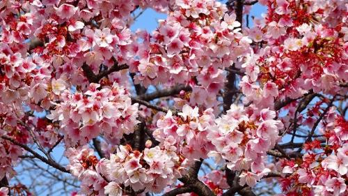 宝塚市山本中の寒桜が満開になったか確認に行きました その2。