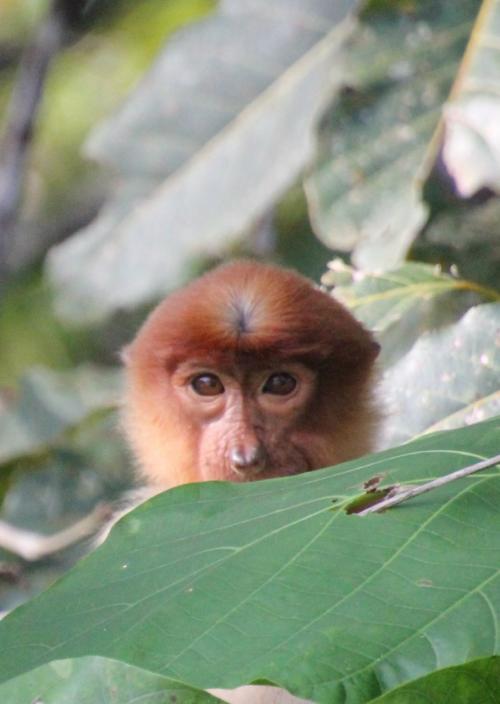 ボルネオ島のジャングルを訪ねる旅⑤キナバタンガン自然保護区2日目