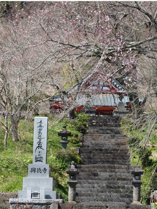 芝川・興徳寺の枝垂桜 2020.03.18