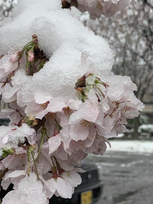 なごり雪…桜…