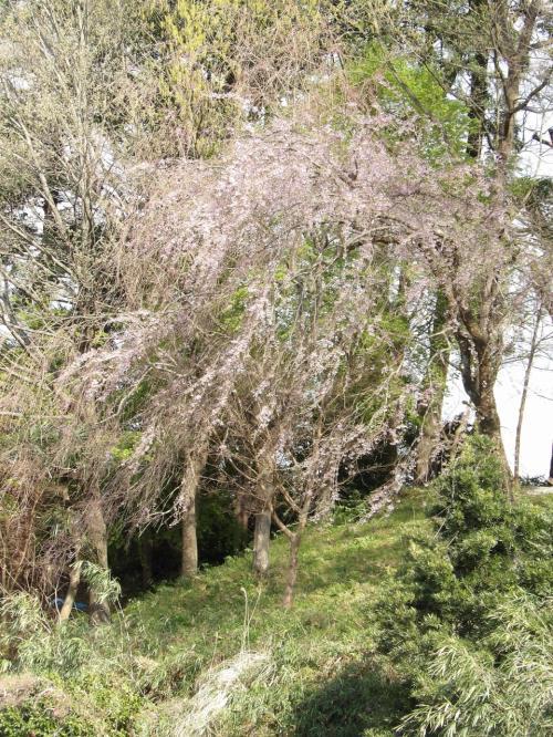 南足柄神社(飯沢八幡社)の枝垂れ桜