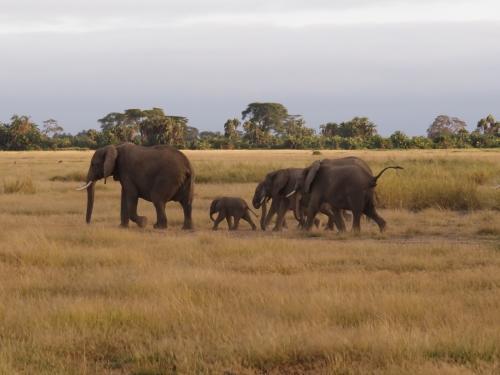 タンザニア・ケニア サファリ紀行   4/4    2020年:ケニア 8~11日目      アンボセリ国立公園、マサイマラ保護区