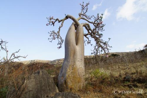 インド洋のガラパゴス!秘境ソコトラ島の旅⑤~龍血樹とボトルツリーの谷 後編