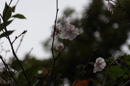 秋に咲く桜、再び(小菅ヶ谷北公園散策の森ゾーン)