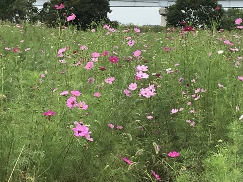 花を求めて 江戸川のコスモス