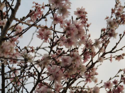 南舞岡小の十月桜-2020年秋