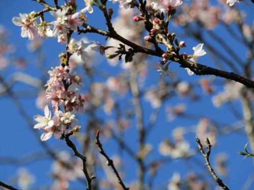散り始めの南舞岡小の十月桜-2020年秋