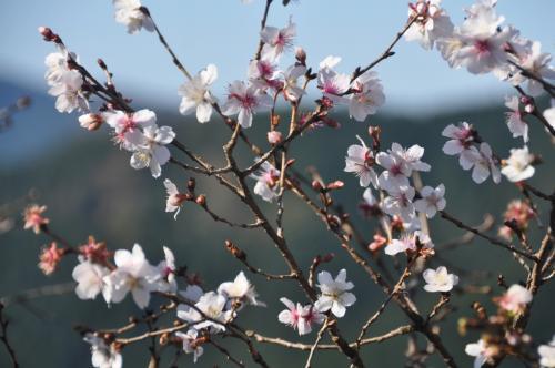 冬桜と紅葉のコラボレーション・桜山公園