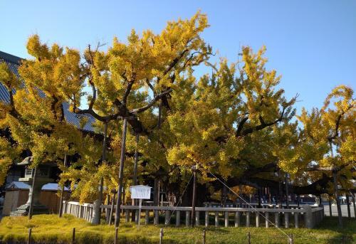 京都 西本願寺の見事な大銀杏!目指して歩こう♪