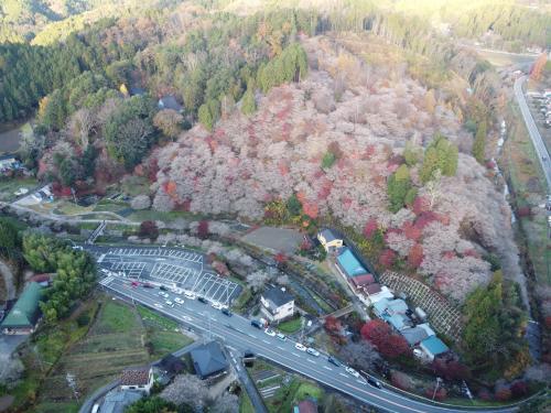 旧小原村の四季桜 空撮あり