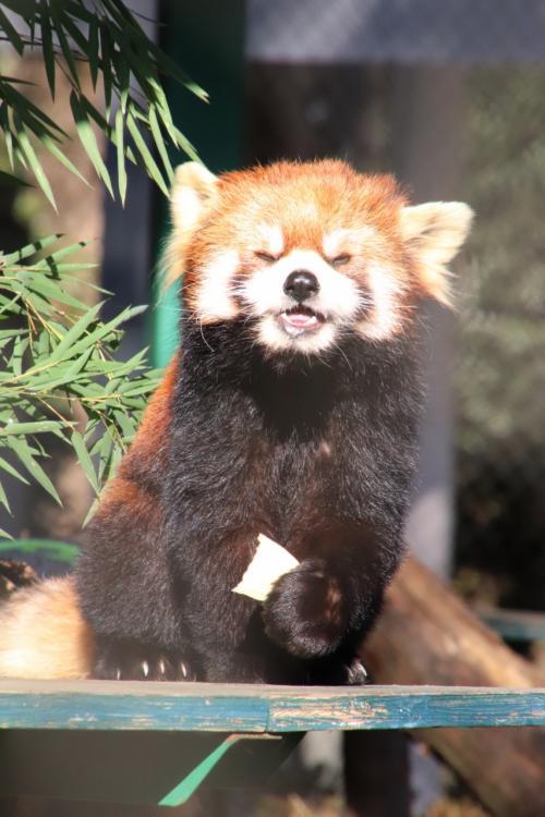 年始の羽村市動物公園2021~やっと見られたレッサーパンダのソラちゃん・ラテくん・アルくんのリンゴタイム~