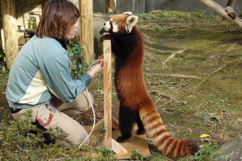 平川動物公園 地道な努力と熱いハートで進化中!! 今、全ての飼育関係者に見て欲しい平川レッサーのハズバンダリートレーニング