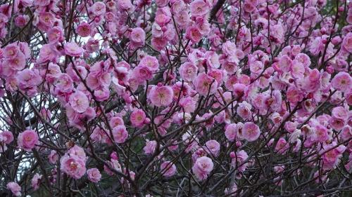 小浜宿の毫攝寺の紅梅が見頃だと、宝塚市在住の方のブログで知り、見に行きました その3。
