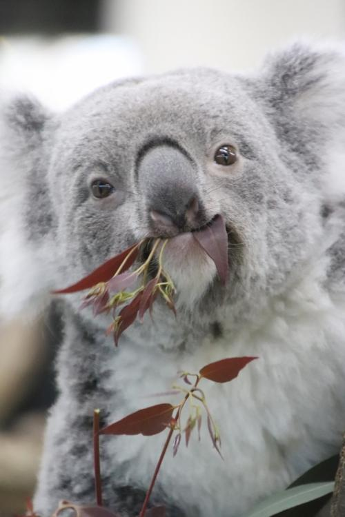 陽気な冬の土日に続けて訪れた埼玉こども動物自然公園(1)女子コアラ全員とレッサーパンダのハナビちゃんみやびちゃんに会えて買い物も楽しんだ土曜