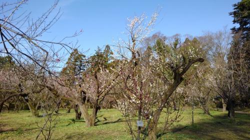 京都植物園の四季-その12(最終回)(梅とツバキ)