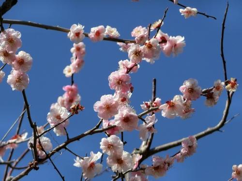 春の陽気に誘われて、大阪万博記念公園 「茶つみの里」で「ハナモモ見物」&「梅林」で今年2度目の「梅見物」をする。(2021)